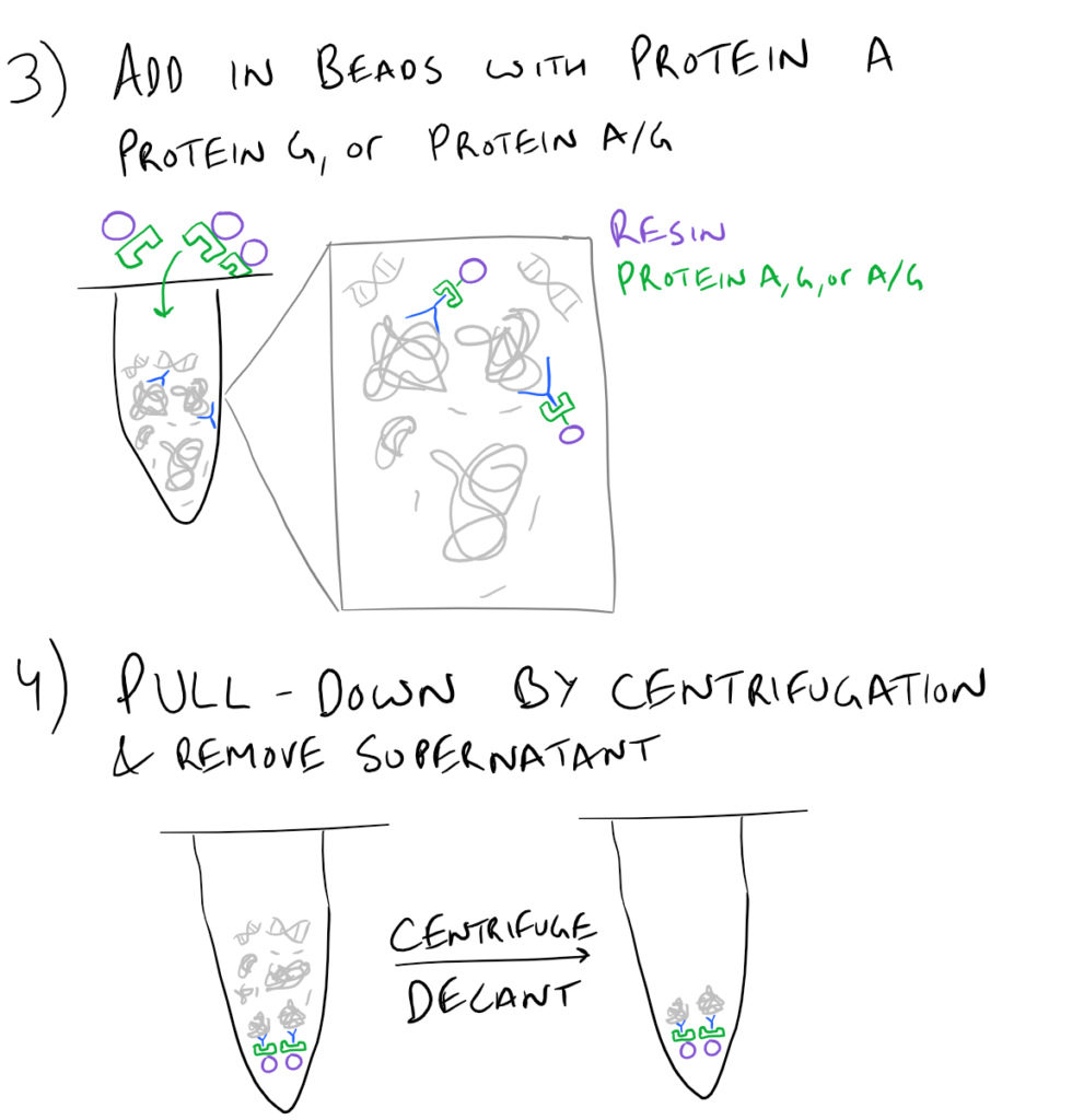 Immunoprecipitation Pulldown Assay