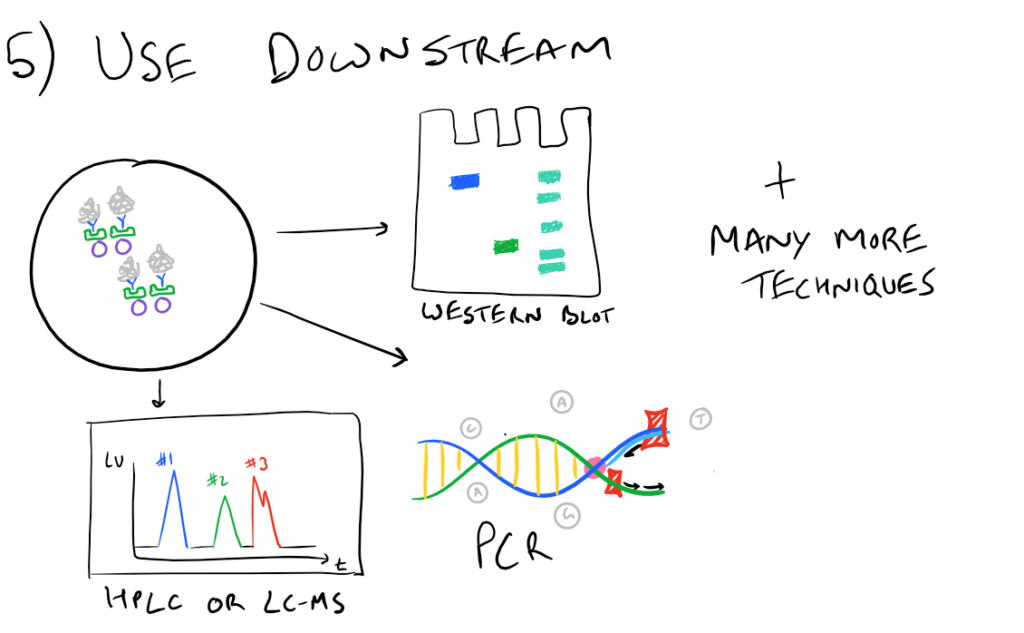 Immunoprecipitation IP Downstream applications