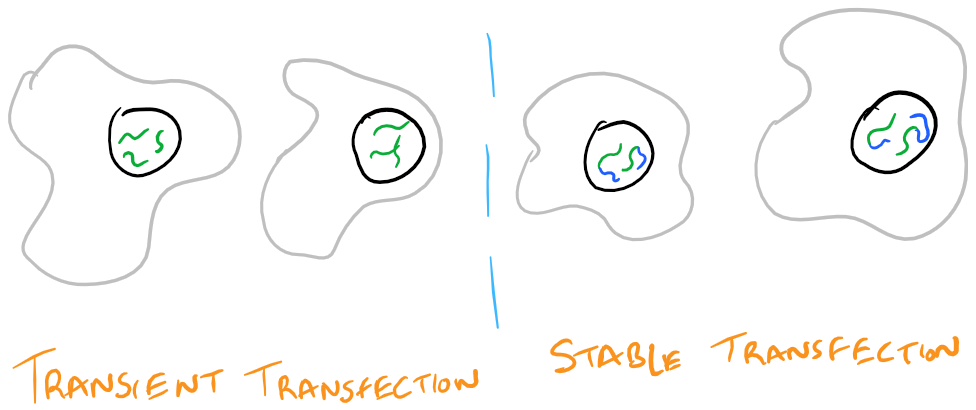 Transient Transfection vs Stable transfection
