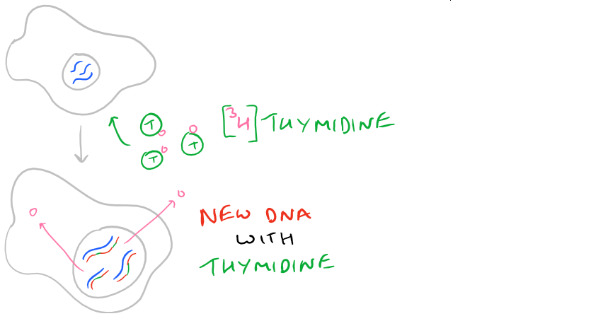 Cell Proliferation with Tritium Thymidine