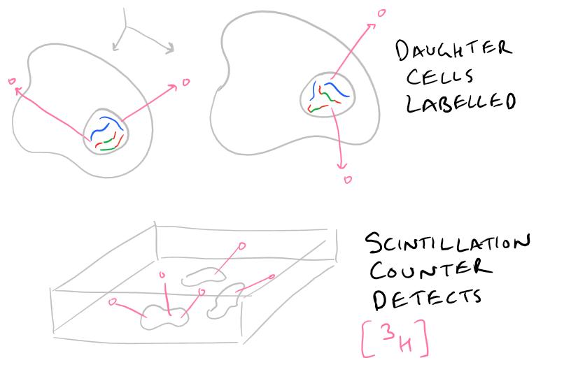 BrdU Cell Proliferation no radioactivity, Thymidine has it.