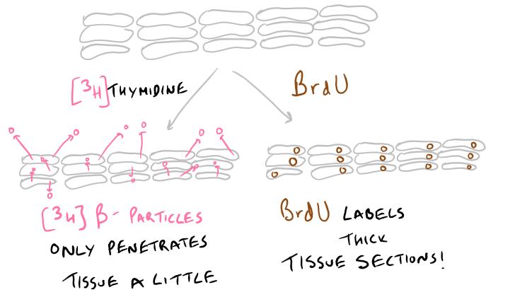 Thymidine Cell Proliferation Assay vs BrdU Assay