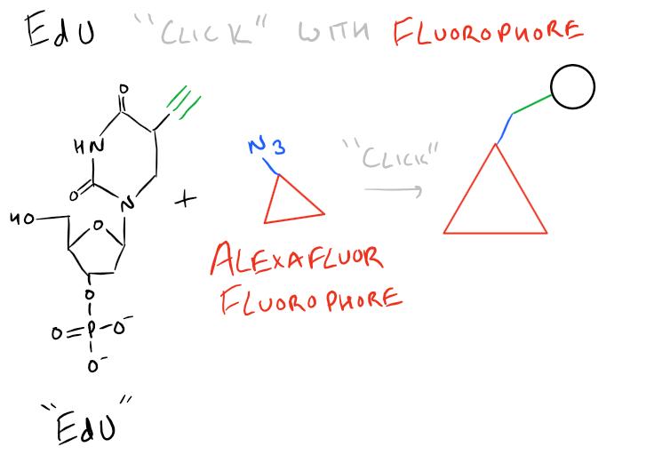 EdU Fluorescence Cell Proliferation Assay