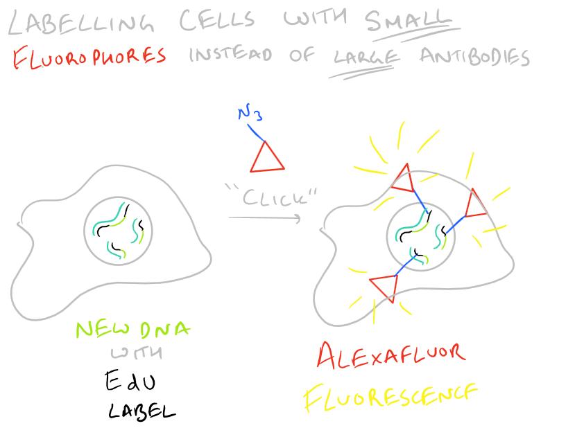 EdU vs. BrdU Cell Proliferation Assay