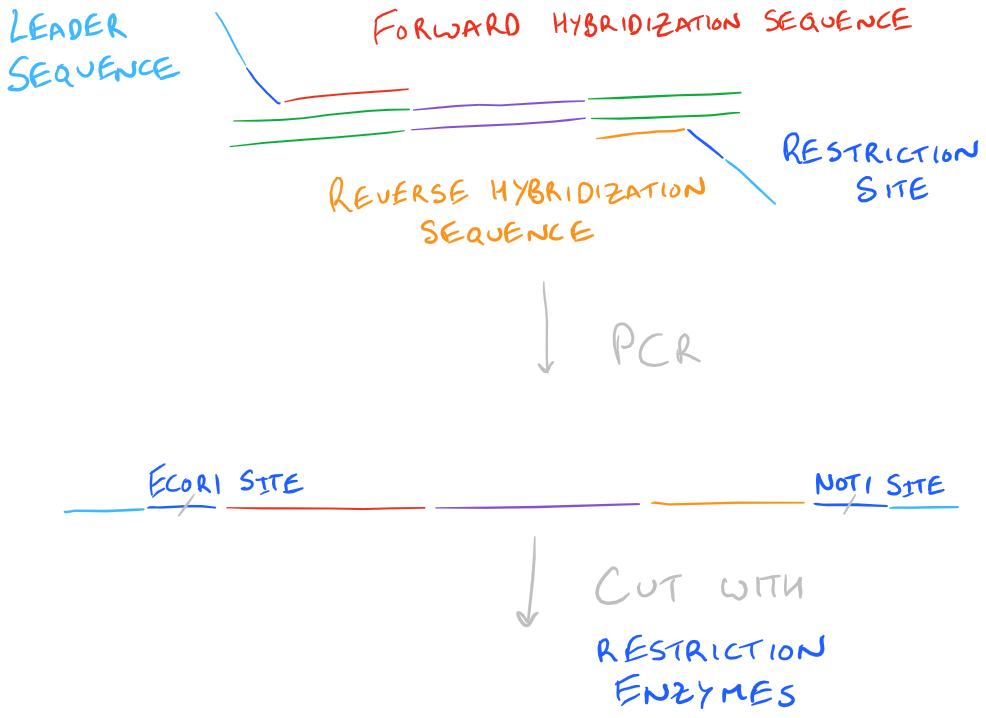 Molecular cloning primer design