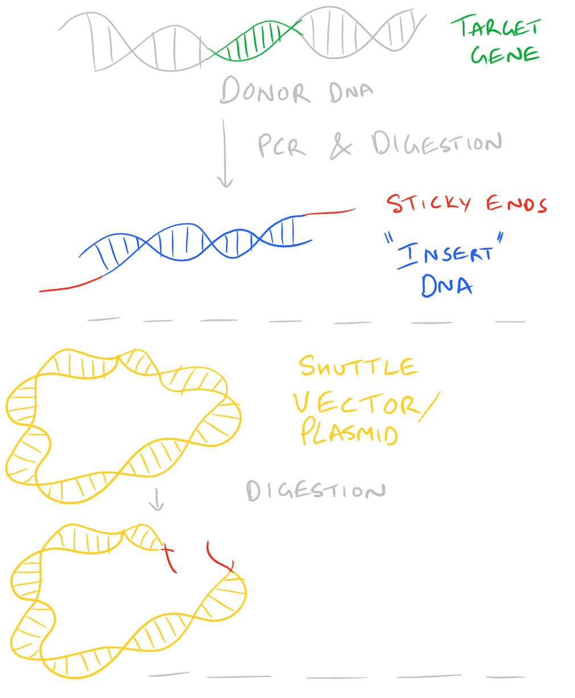 Ligate Sticky ends using Ligase