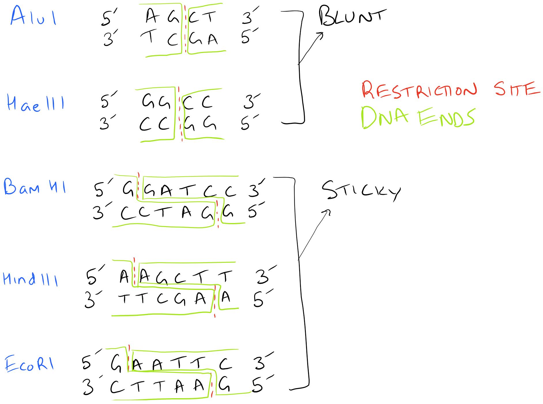 Restriction Enzymes for DNA Ligation