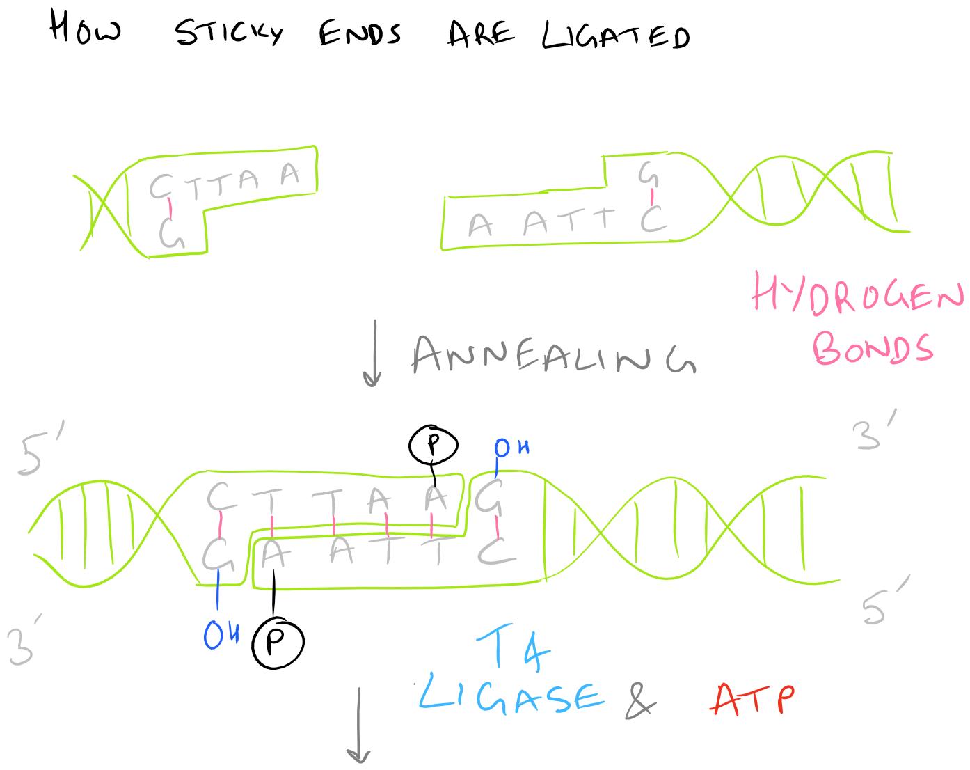 Ligation Protocol for T4 Ligase