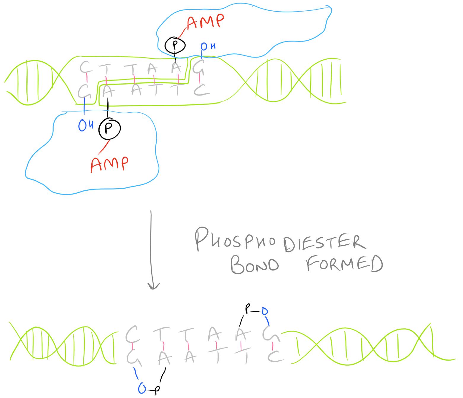 Phosphodiester Bond Formation during Ligation