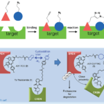 Orthogonal Bioconjugation Techniques – Step by Step Methods, and Impact